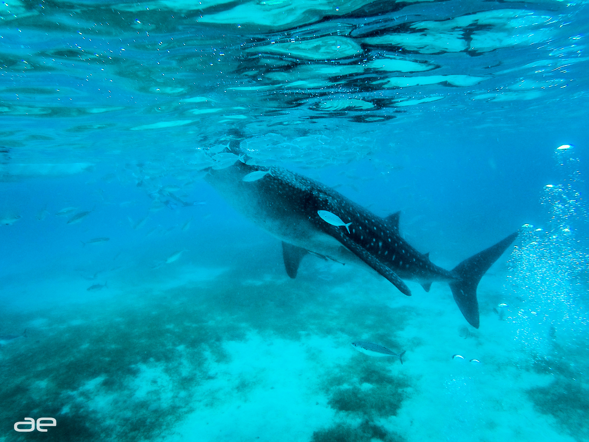 Whale Shark Attraction in Oslob, Cebu
