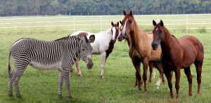 striped horses