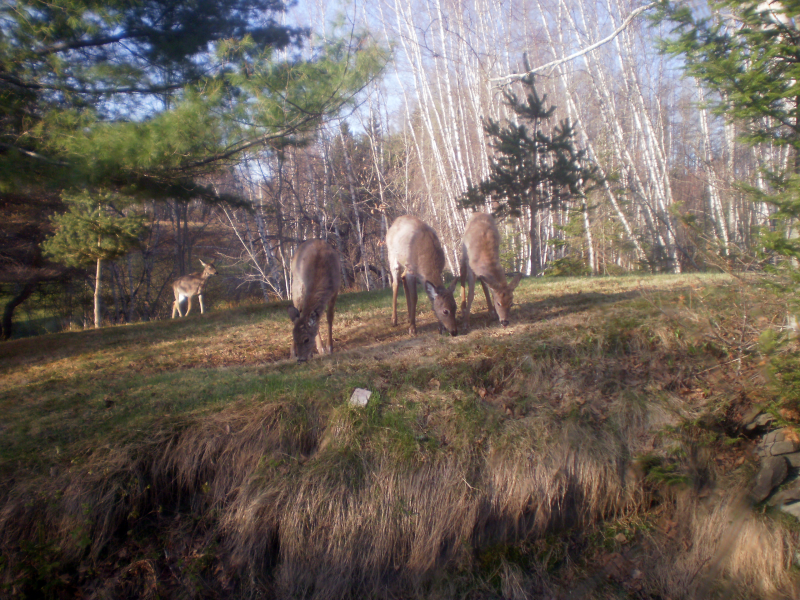 3 deer in the foreground while a fourth comes in from behind them.