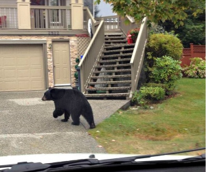 Bear between mail carrier and destination photographed through delivery van windshield.