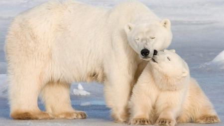 Mama and Baby polar bears.