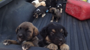 Puppies in a pickup.