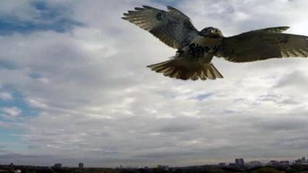 Hawk attacks Drone.