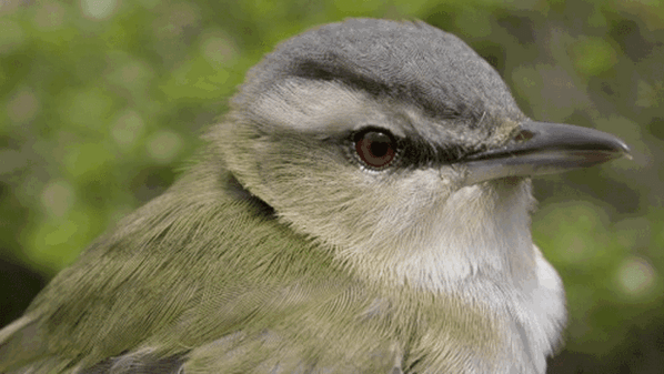 Red-Eyed Vireo?