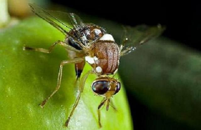 اعرف اكتر عن ذبابة الفاكهة ومصيدة ذبابة الفاكهة وطرق المكافحة
