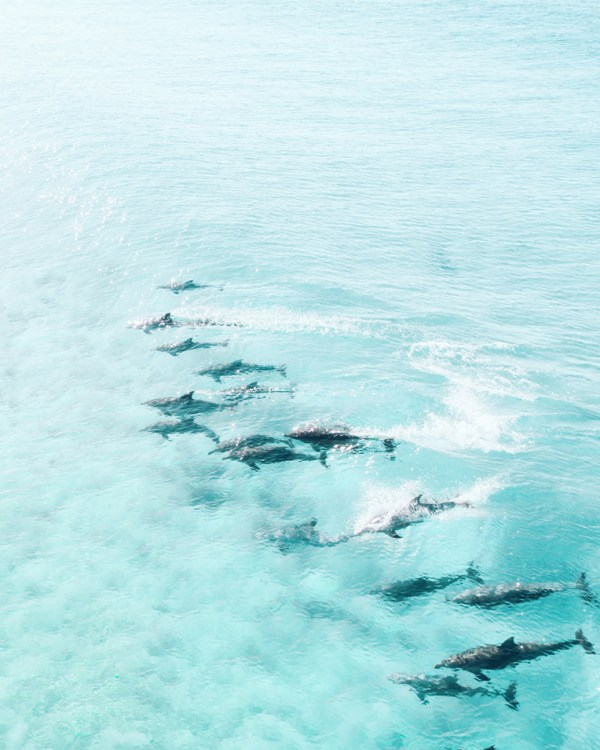 Pod of Dolphins Drone Photography Print