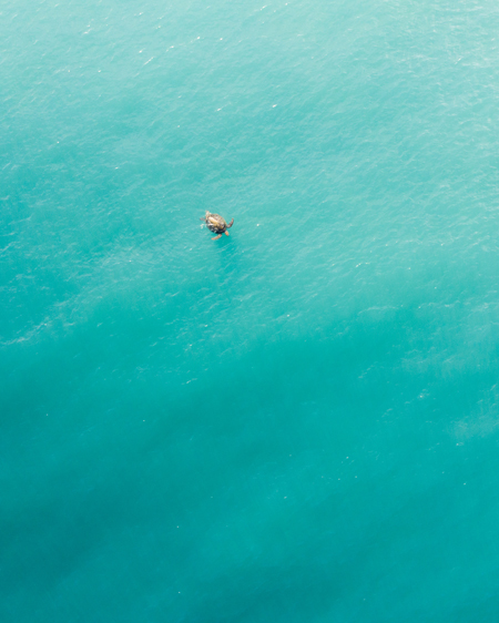 Aerial of Turtle Swimming in the Ocean