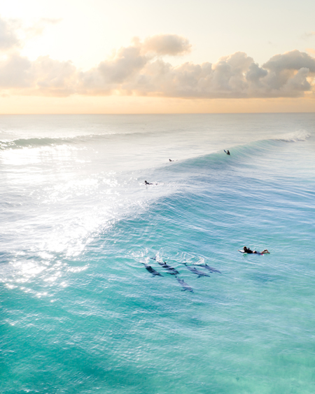 Dolphins Swim By A Man On An Early Morning Sunrise Surf