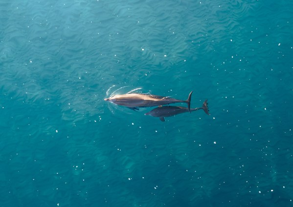 Aerial of Dolphin and Baby Dolphin Calf Print