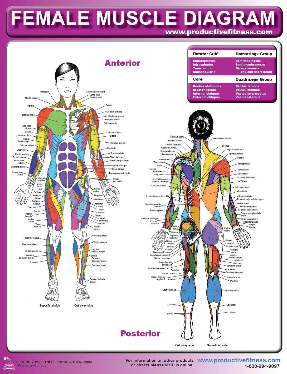 Female Muscle Diagram And Definitions