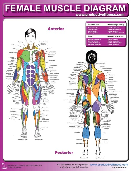 small resolution of female muscle diagram and definitions jacki s blog diagram of female lower back diagram of female back