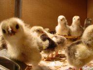 11816_Chicks-3.2.03-008.jpg