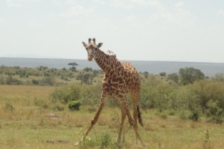 Twiga's vantage view of the looming decimation in the savannah