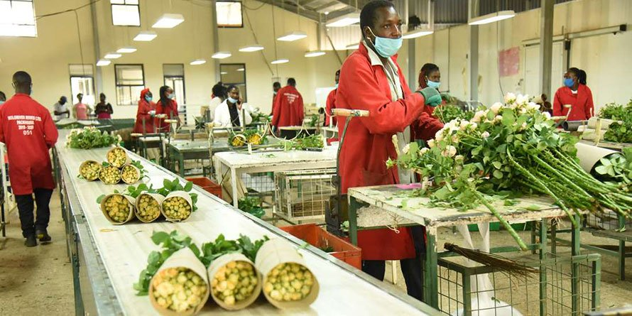 Workers at Molo River roses flower farm in Nakuru