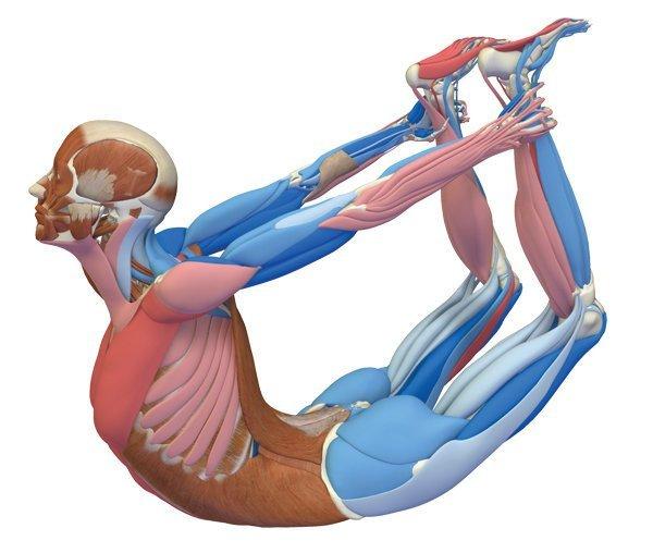 Джанурасана - анатомия движения.