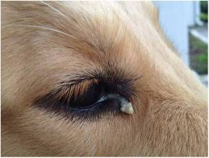 Eye Discharge In Dogs