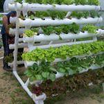 Horta caseira em canos de PVC
