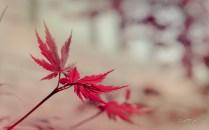 Japanese-Maple-wallpaper_byAEtherPie