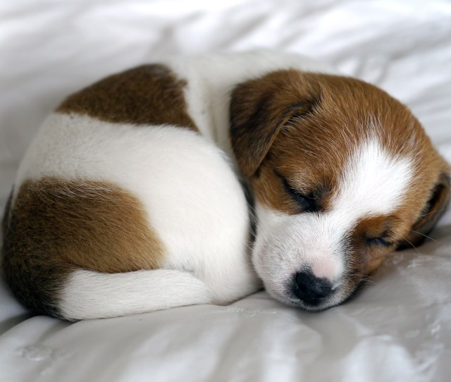 This Sleeping Jack Russell Terrier Puppy Is Basically A Work Of Art