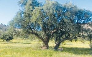 vw-300x187 هذا الخبر : جمعيات تحذر من عواقب اجتثاث أشجار الأركان بجهة سوس المزيد
