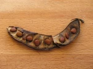 ceratoniasiliquaseeds-300x225 تكيضا : ماذا تعرف عن شجرة الخروب و ثمارها ؟  فلاحة