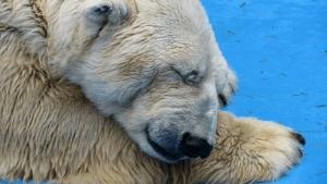 Arturo, el osos polar de 29 años, vive en condiciones insanas.