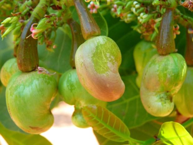 cashew-51978_1920