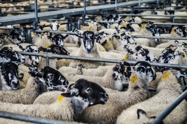 sheep-678196_1920