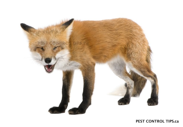 animals with rabies - fox