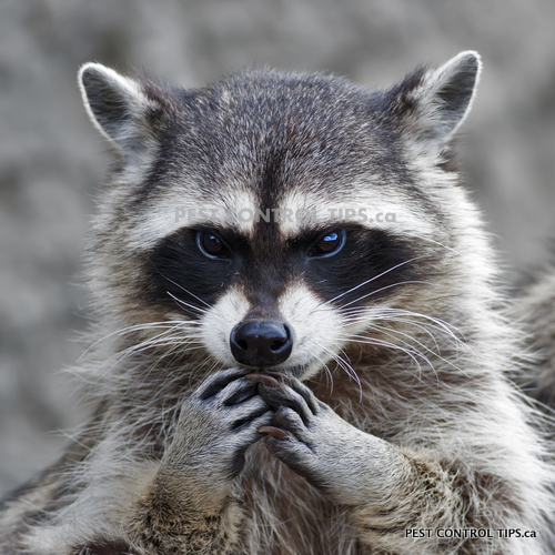 animals with rabies - raccoons