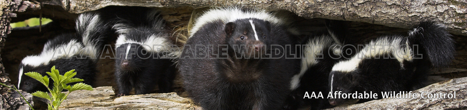 Skunk Removal Toronto - AAA Affordable Wildlife Control