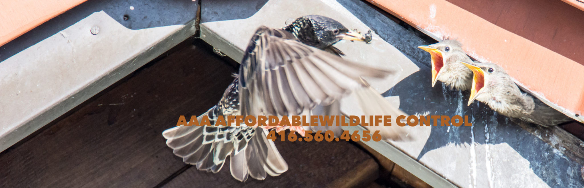 Bird Removal Toronto, Bird Nest Removal Toronto, Bird Nest Removal From Wall Vent