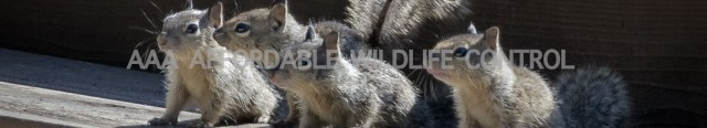 Squirrel Removal Markham, Affordable Squirrel Removal, Affordable Wildlife Removal, Raccoon Removal