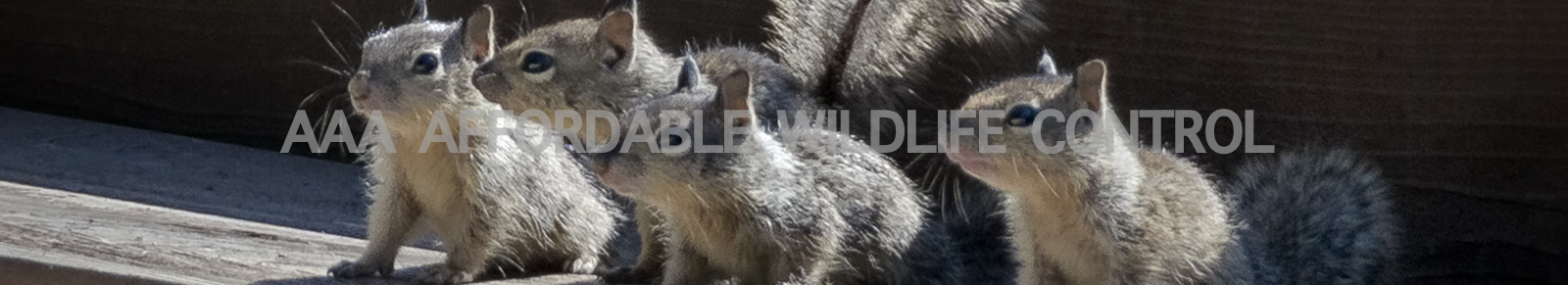 Affordable Wildlife Control company servicing the Toronto Greater Toronto Area. We get rid of animals from attics. Squirrels, raccoons & birds. Wildlife control in and near Toronto.