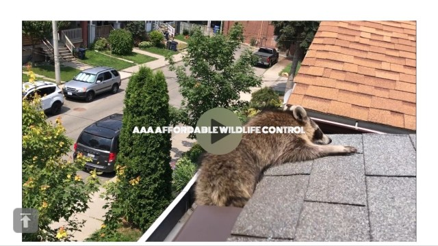 Affordable Raccoon Removal, AAA Affordable Wildlife Control, Affordable Squirrel Removal