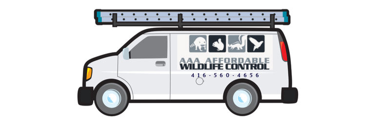 Wildlife Removal, AAA Affordable Wildlife Control Toronto, Raccoon Removal