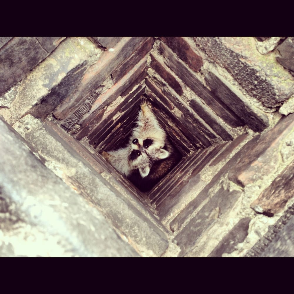 Raccoon Removal From Chimney In Toronto, Wildlife Control, Wildlife Removal, Squirrel Removal, Raccoon Removal, Affordable Wildlife Control