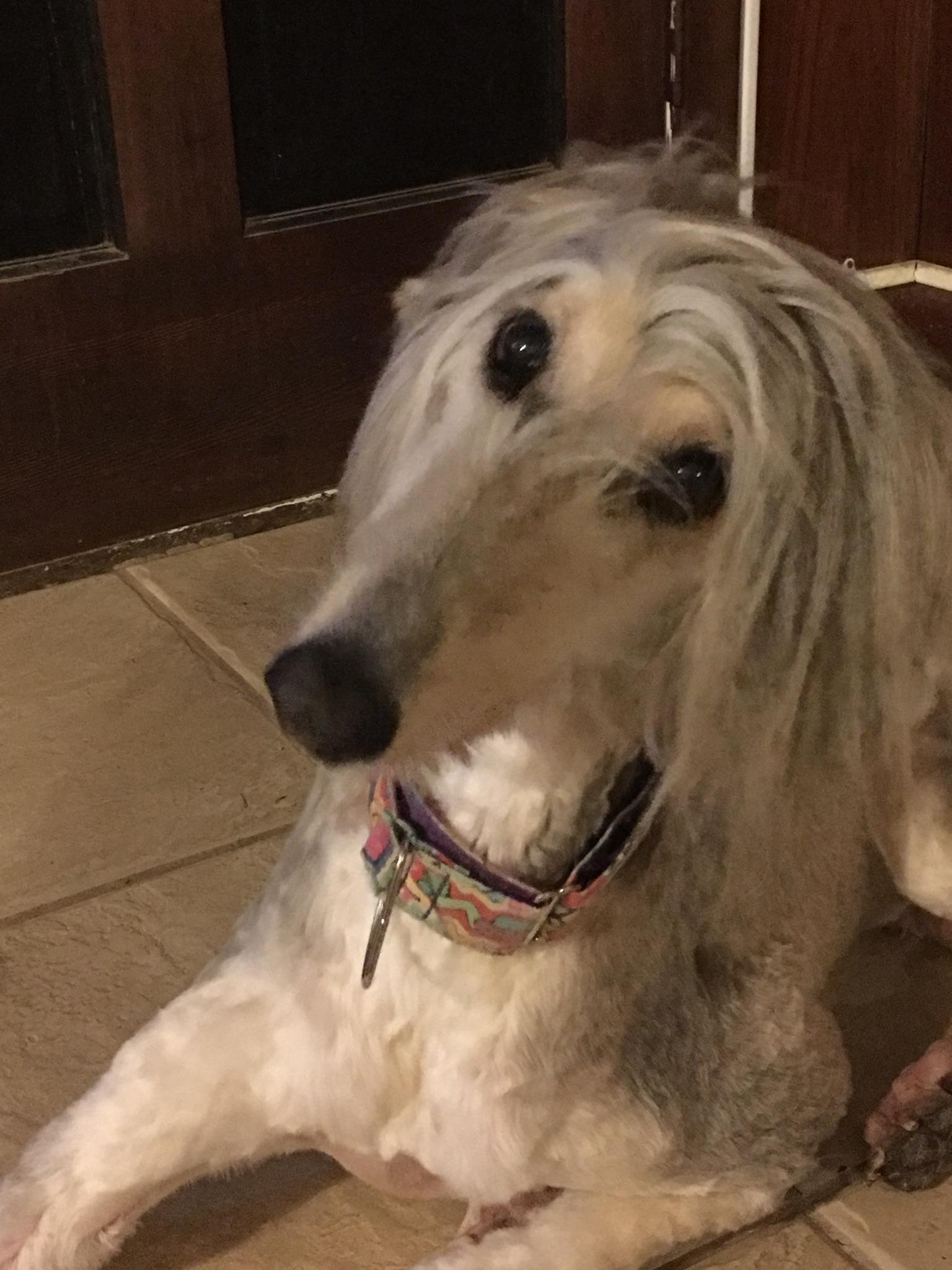 Afghan Hound Craigslist : afghan, hound, craigslist, Adopted, Afghan, Hound, America, National, Rescue