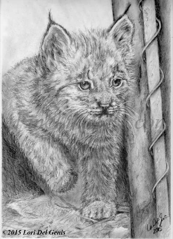 'Stone Zoo Lynx Kitten, Stoneham Massachusetts' - Graphite and charcoal portrait by Lori Del Genis