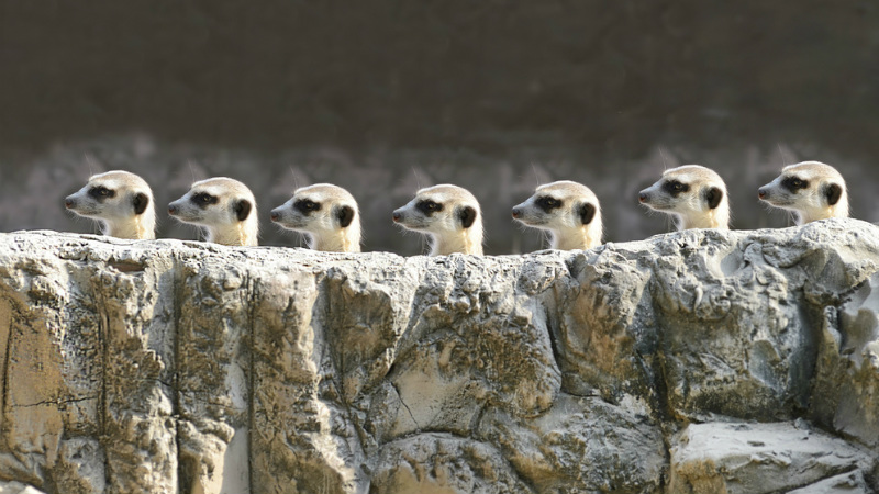 Cute Owl Wallpaper Iphone 10 Things You Didn T About Meerkats Afktravel