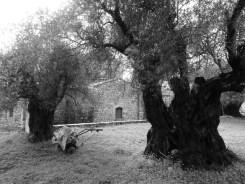 Les olivıers millénaires du monastère de Tharry