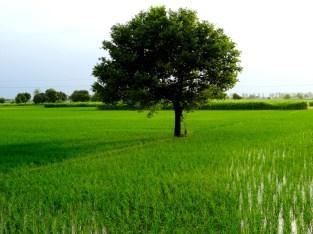 Les rizières du Punjab