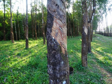 L'hévéa, arbre à caoutchouc