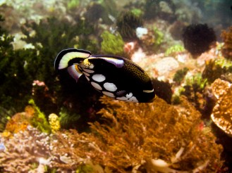 Clown triggerfish. Komodo National Park, Indonesia.
