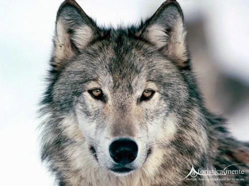 Risultati immagini per frasi sui lupi belle