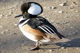 wild ducks species