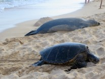 Honu and monk seal at Poipu Beach Park