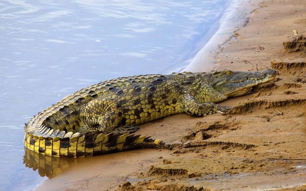 Crocodile in Nile River