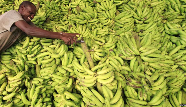 Somalia Resumes Banana Production Hopes To Grow Exports