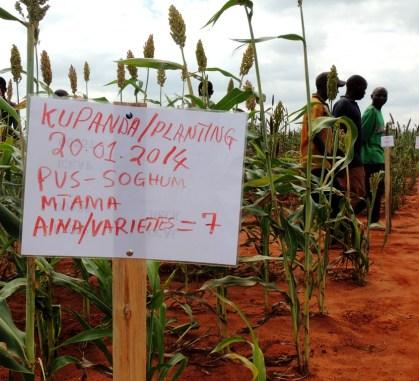 New improved sorghum varieties on trial